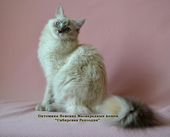 Neva Masquerade cats and kittens. Cats for breeding