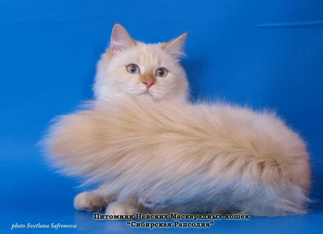 The cattery of Neva Masquerade cats 'SIBIRSKAYA RAPSODIYA'. Neva Masquerade kittens for sale