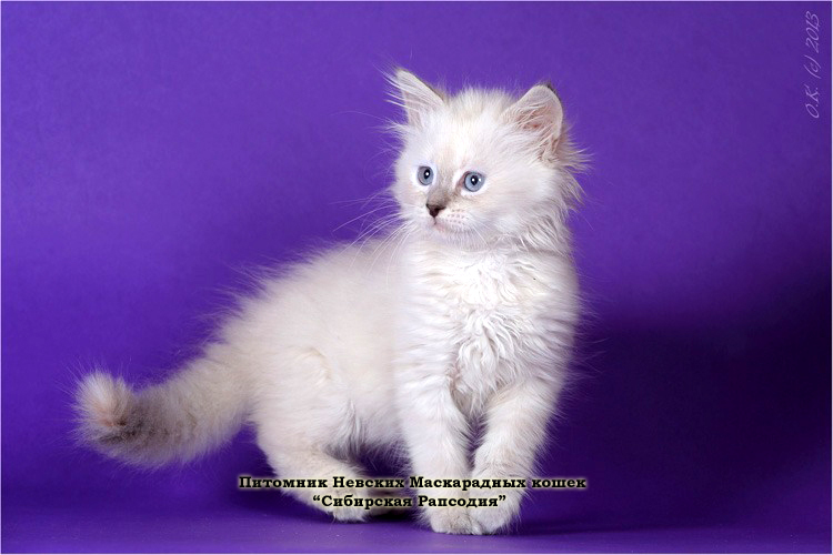 "The cattery of Neva Masquerade cats ""SIBIRSKAYA RAPSODIYA"". Neva Masquerade kittens for sale"